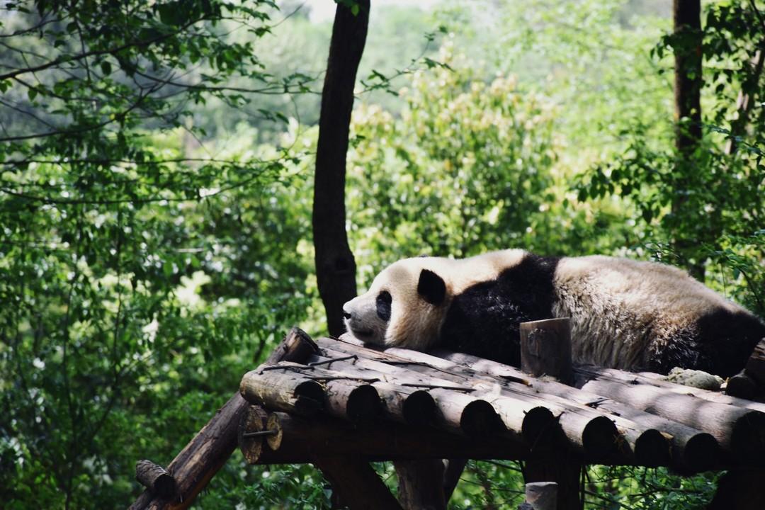 大熊猫繁殖基地.jpg